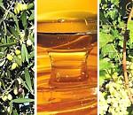 Ελιά, αμπέλι και μέλι μπαίνουν στο μικροσκόπιο των επιστημόνων (ypaithros.gr)